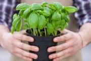 ما هي انواع النباتات الطاردة للناموس و الحشرات