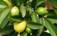 ما هي فوائد ورق الجوافة للشعر ؟