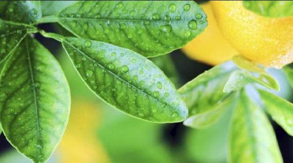 ما هي فوائد اوراق الليمون الخضراء؟