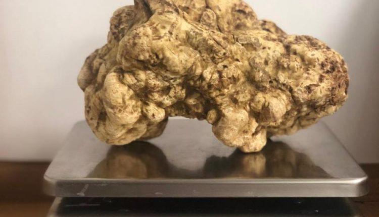 اكبر حبة فقع في العالم تطبخ في دبي